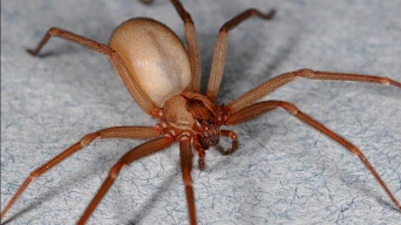 Altas temperaturas requerem maior prevenção de acidentes com a  aranha-marrom - Secretaria da Saúde